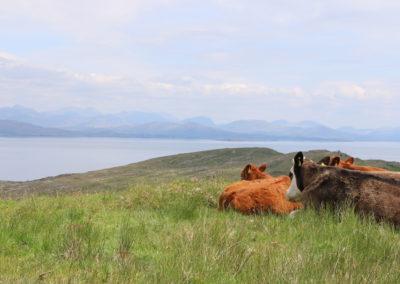 Irländische freiland Kühe auf grünen Wiesen