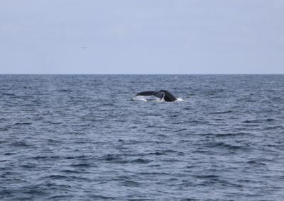 Humpback Wal vor Irlands Südwestküste
