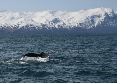 Wale beobachten in Island