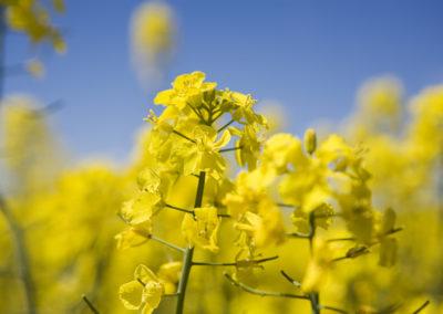 Canola Blüten in Südschweden