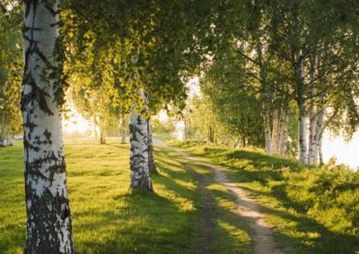 Weg durch einen Birkenwald