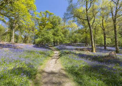 Blauglöcken im Frühjahr auf der Insel Inchcailloch