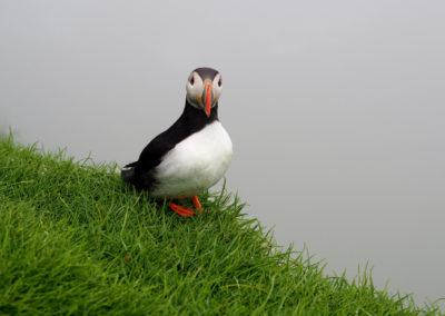Papageientaucher auf den Färöer Inseln