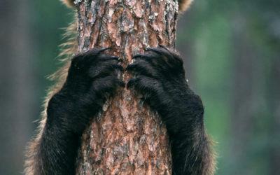 Bären in Finnland