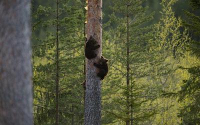Bären in Schweden
