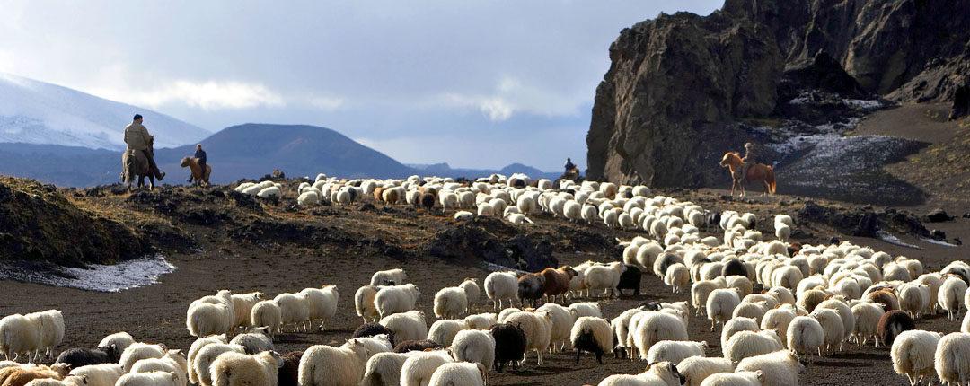 Island – Der große Schafabtrieb