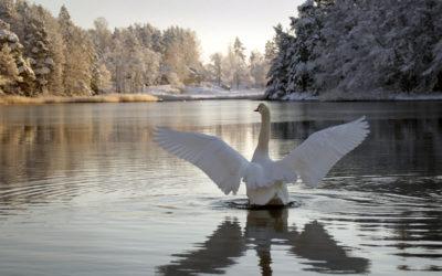 Schwan in Finnland