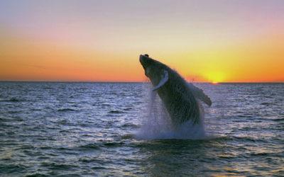 Wal vor Island