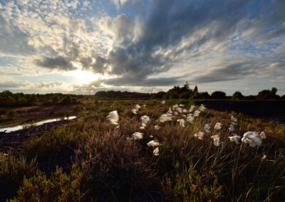Baumwollpflanzen im Lullymore Heritage Park, County Kildare