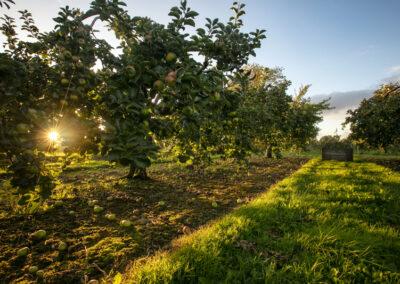 Crannagael Apfel Plantage im County Armagh