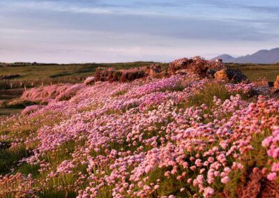 Blumenwiese am Ferriter Cove auf der Dingle Halbinsel im Sonnenuntergang, County Kerry